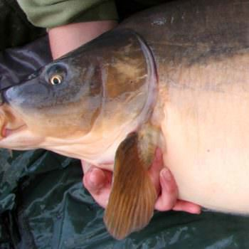 How to <b>Safely</b> unhook and weigh a carp