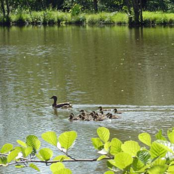 ducklings in carp lake