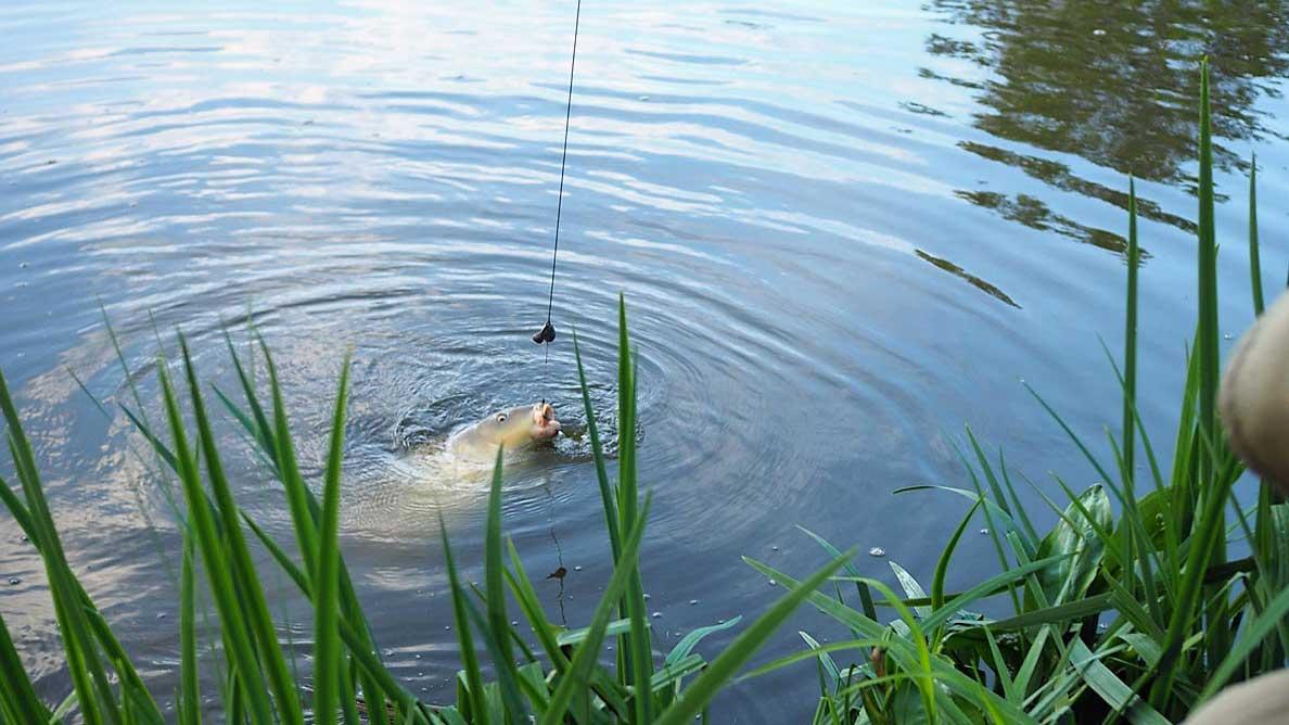 carp with 20mm boilie near landing net