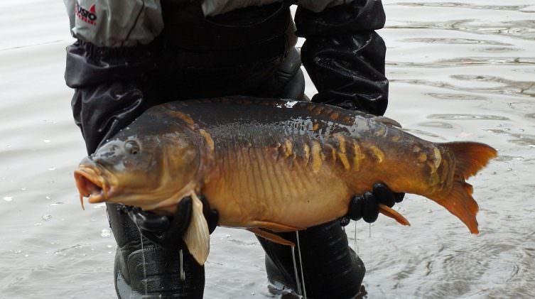new carp stock