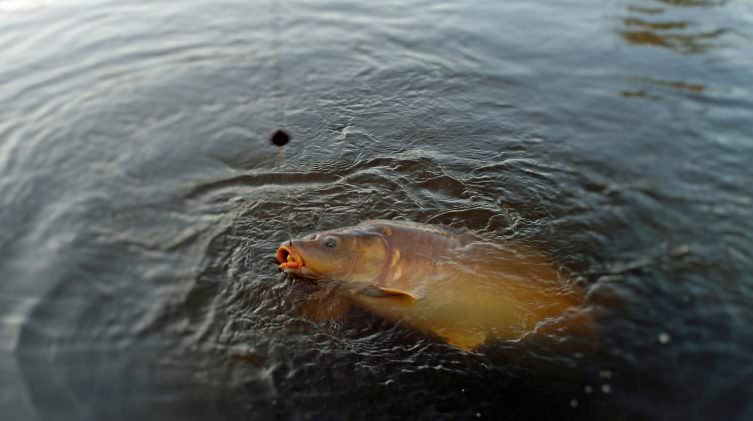 carp with rig in its mouth in the lake