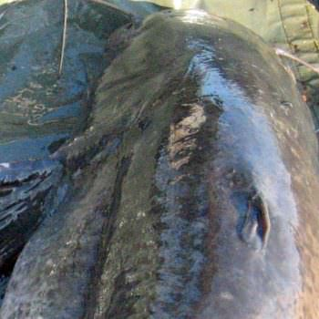 catfish-pectoral-fin