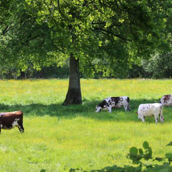 view-of-the-cows-in-the-mayenne-countryside