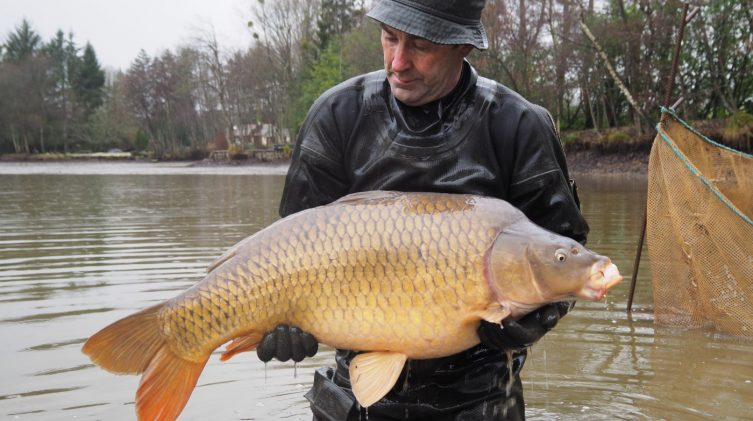 a stunning common carp during the netting