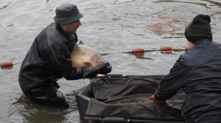 carefully handling the carp during the netting