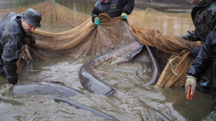 plenty of big catfish in the net